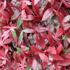 Picture of RED ACER TRELLIS -100 X 200CM