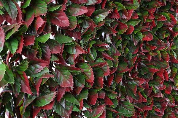 Picture of RED VARIEGATED BEECH TRELLIS - 100 X 200CM